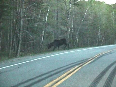 Moose in Norton