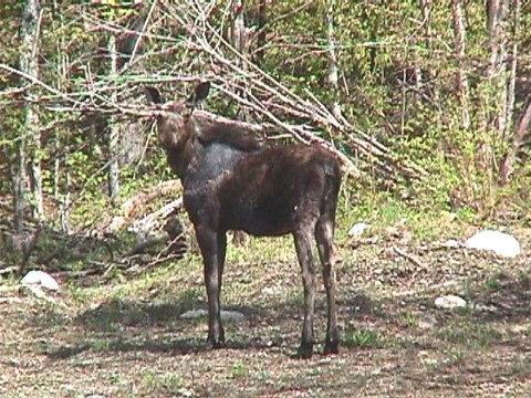 Moose in Norton