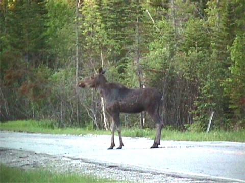 Moose in Averill