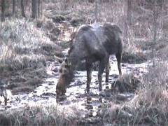 Moose takes a drink